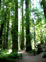 The Humble Redwoods