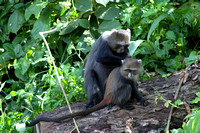Black Monkey's In Arusha National Park